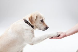 大型犬の特徴 ゴールデンレトリバー